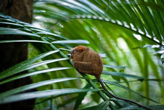 loboc bohol philippine tarsier