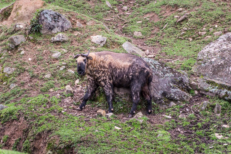 bhutan-takin
