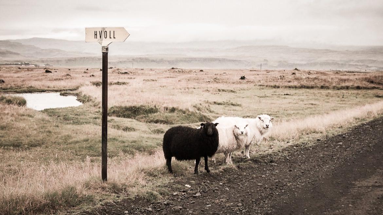 25_iceland_sheep