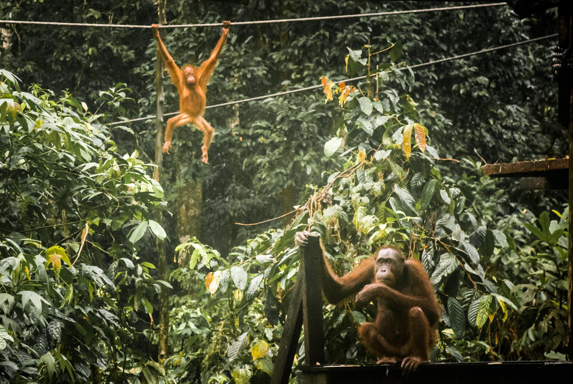 Sabah Borneo Sepilok Orangutan Sanctuary