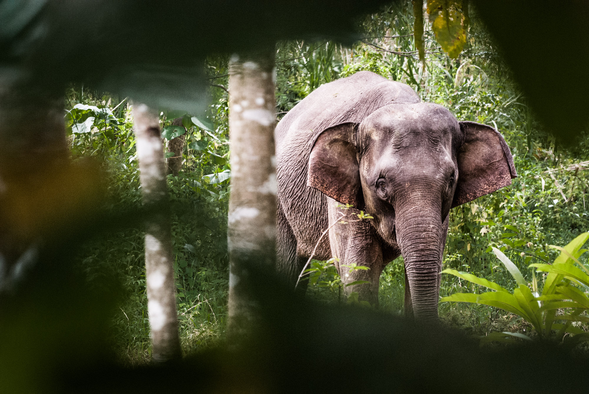 Sabah Borneo Pygmy Elephants