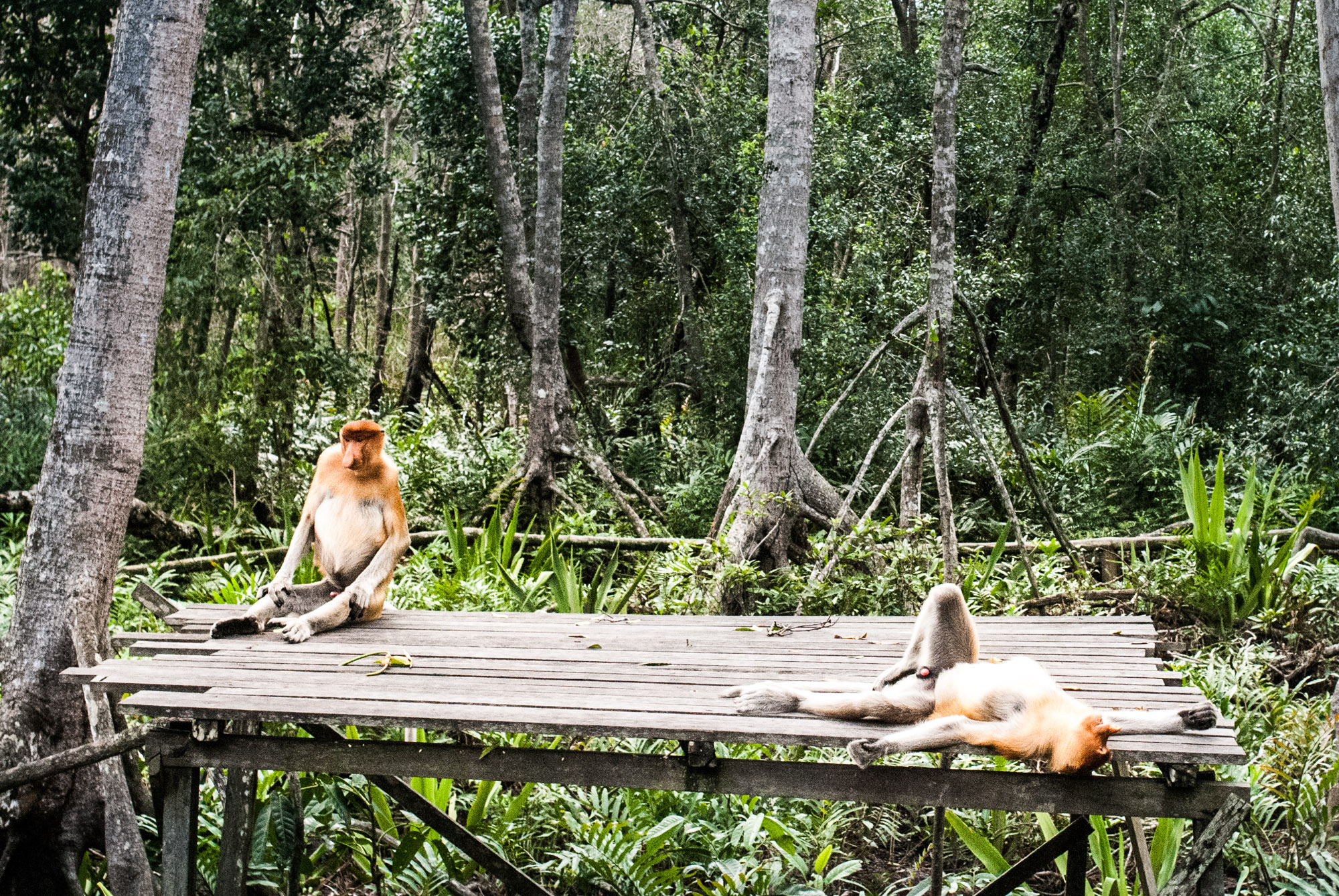 Sabah Proboscis Monkey Sanctuary