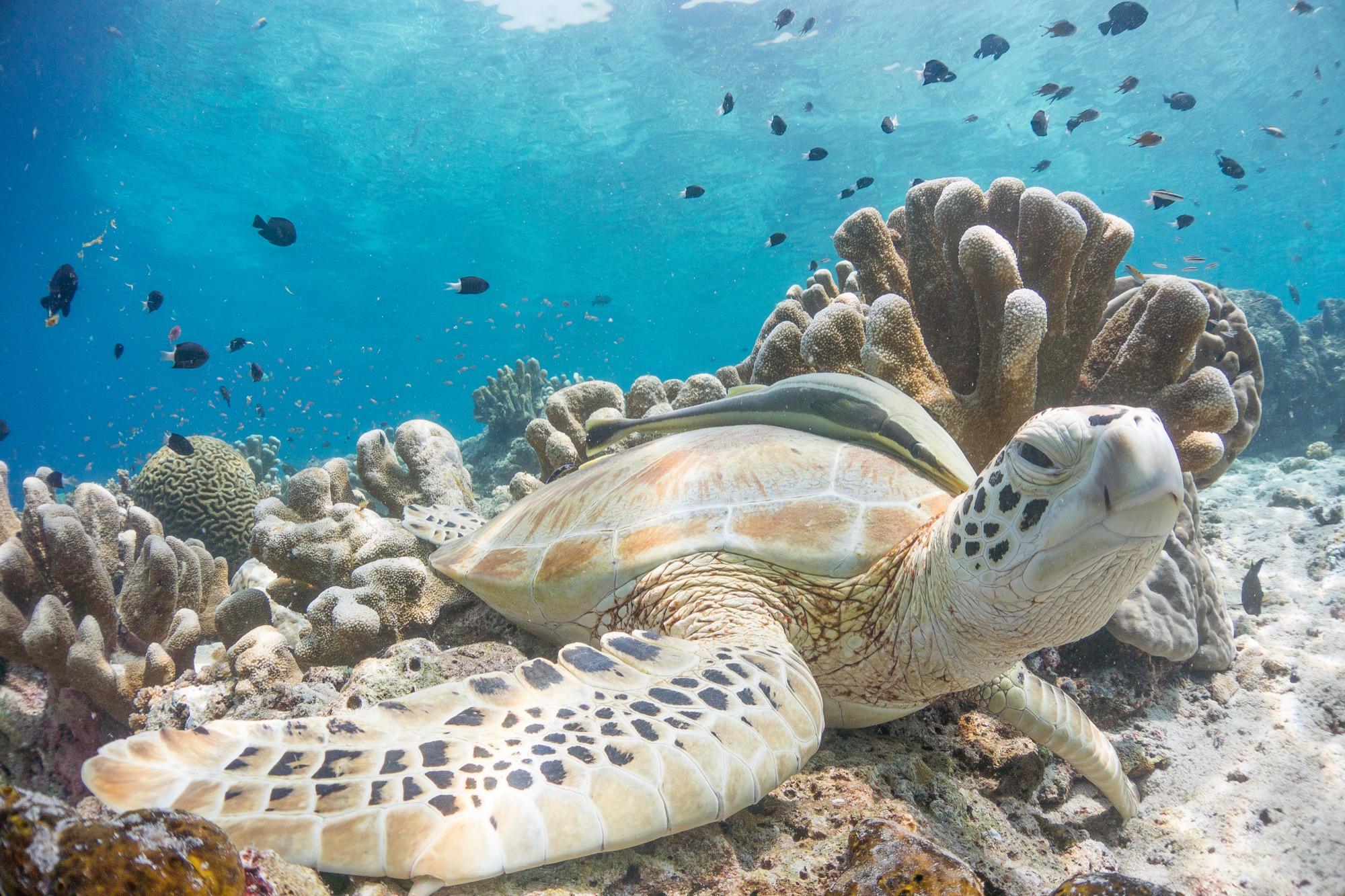 Sipidan turtle